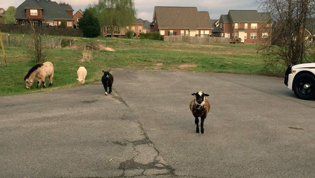 goat_194075