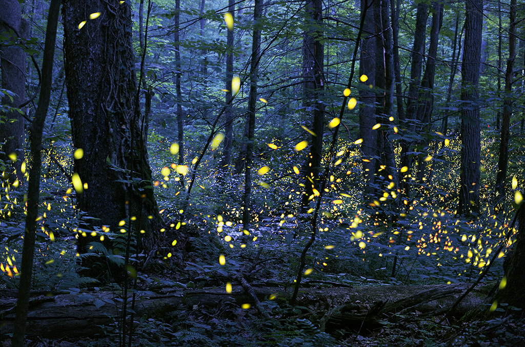 Synchronous_Fireflies_Elkmont_Photo Credit Radim Schreiber (1)_202476