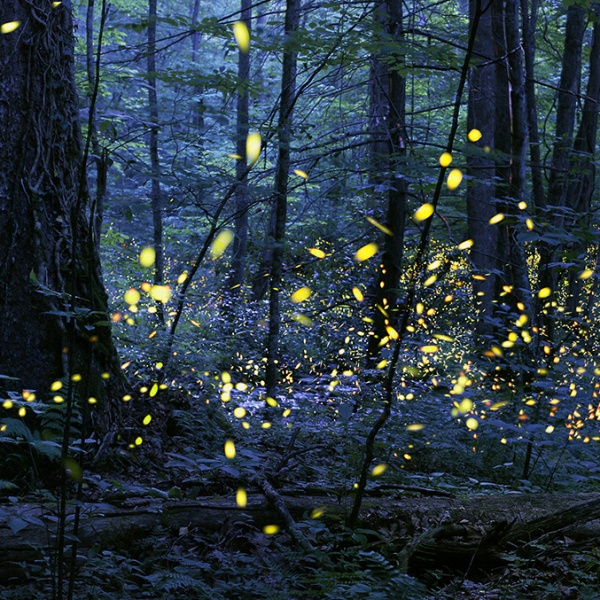 Synchronous_Fireflies_Elkmont_Photo Credit Radim Schreiber (1)_202476