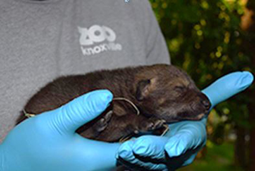 red wolf baby_205751