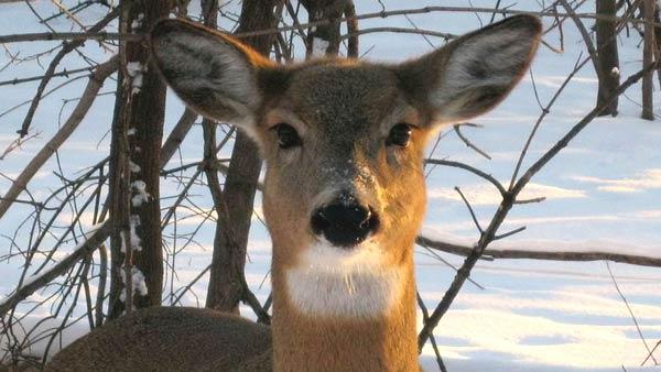 deer_247233