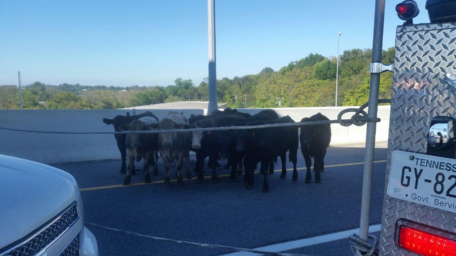 cows_370127
