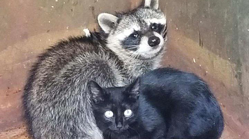 kitten-raccoon-web_1508373466579.jpg