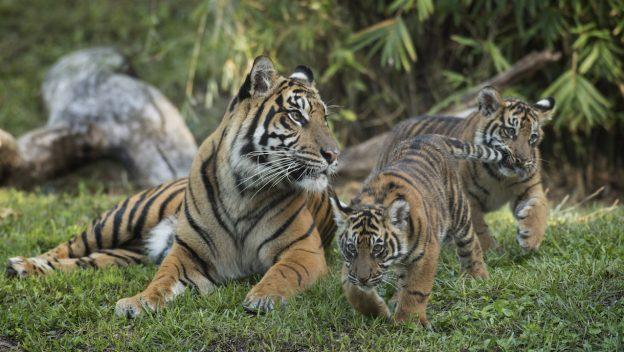 tiger cubs disney 1