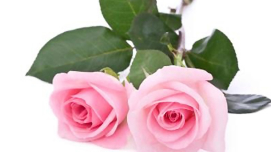 pink-roses-valentines-day-flowers_1515776493899_332004_ver1_20180113054816-159532