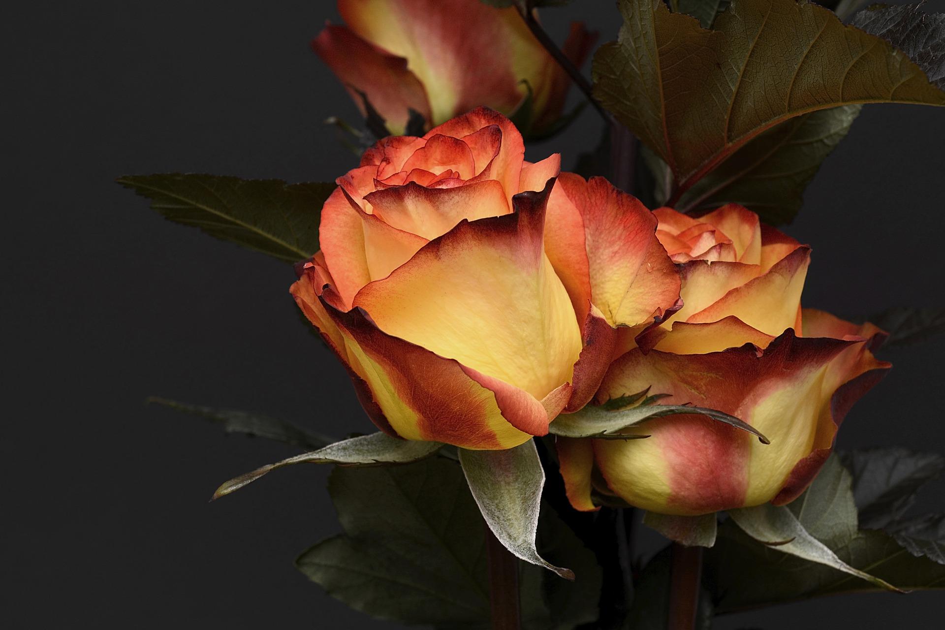 rose-3063284_1920_1518024204834.jpg flowers