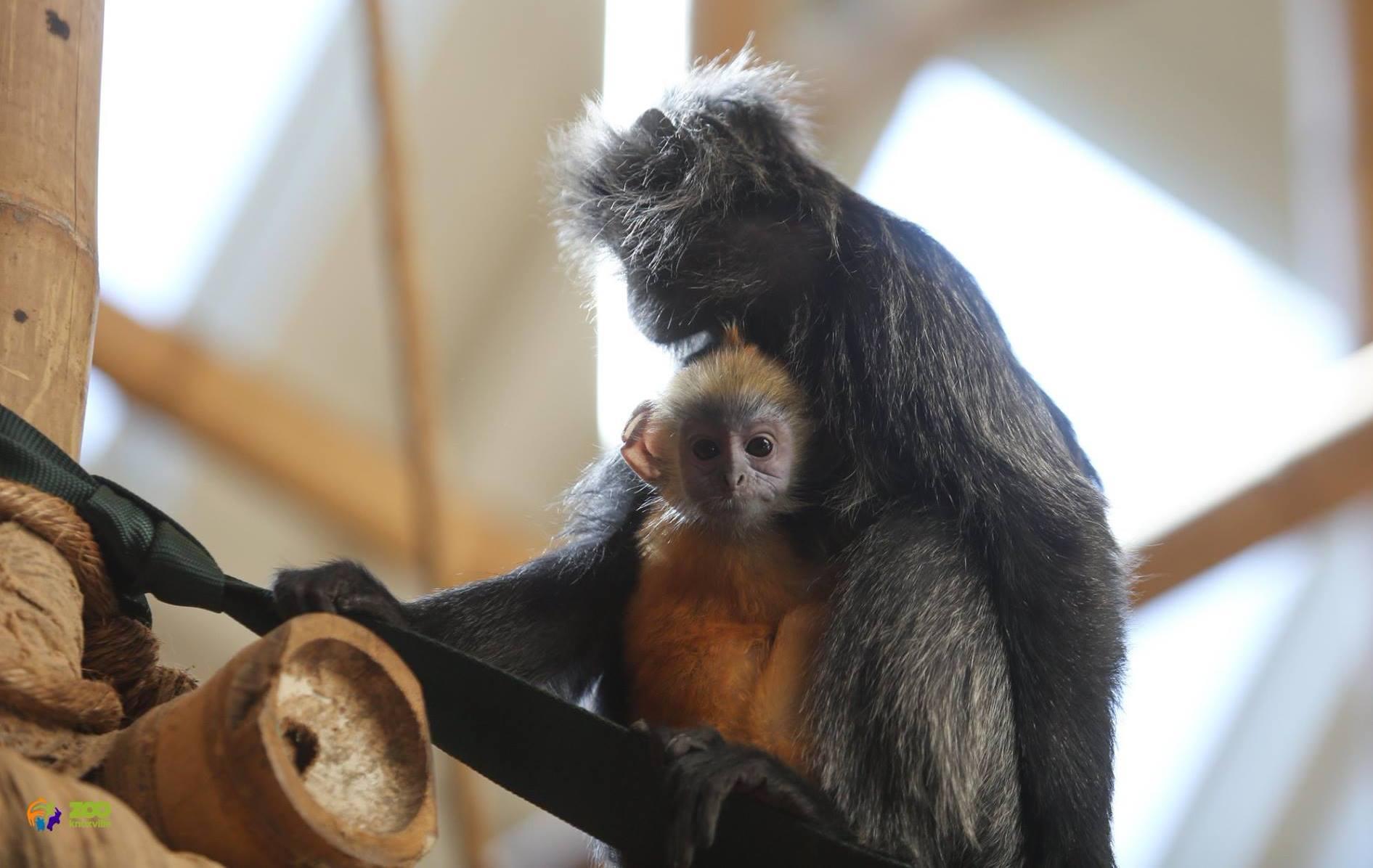 knoxville zoo langur_1519906435260.jpg.jpg