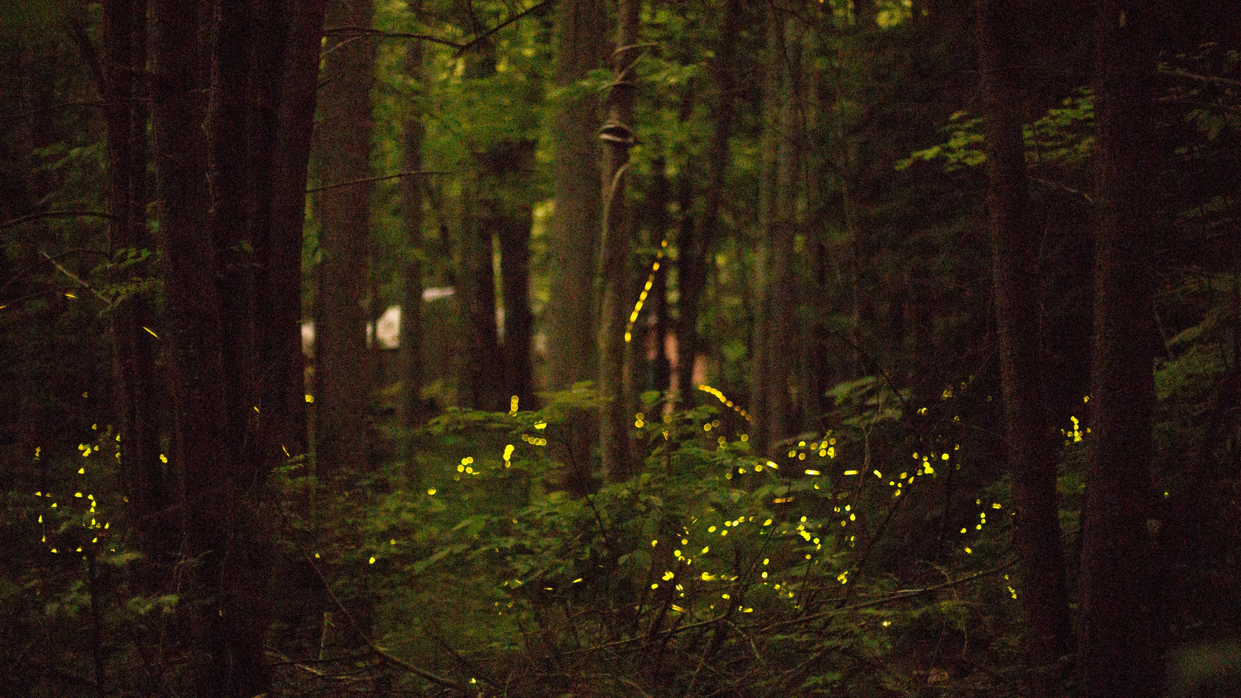 SYNCHRONOUS FIREFLIES_313499