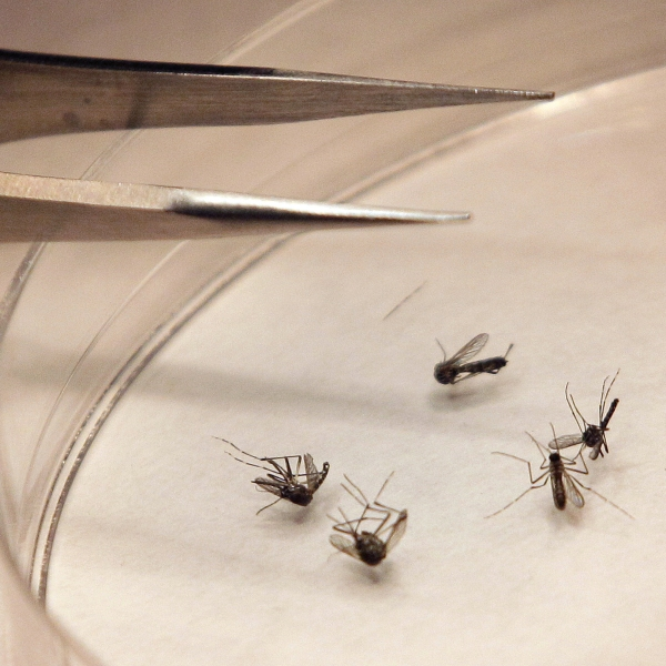 West Nile Mosquitoes_235397