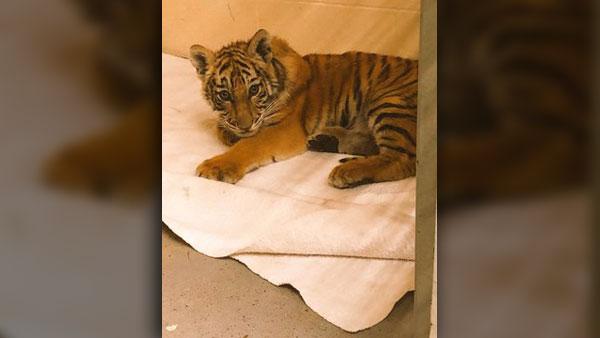 rescued-tiger-cub-1_1525211287348.jpg_41359011_ver1.0_640_360_1525255347992.jpg