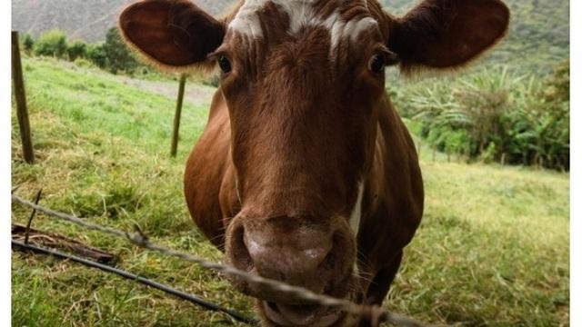 Brown cow picture for cows story_1540047081810.jpg_59622521_ver1.0_640_360_1540062930204.jpg_59639921_ver1.0_640_360_1540077596604.jpg.jpg
