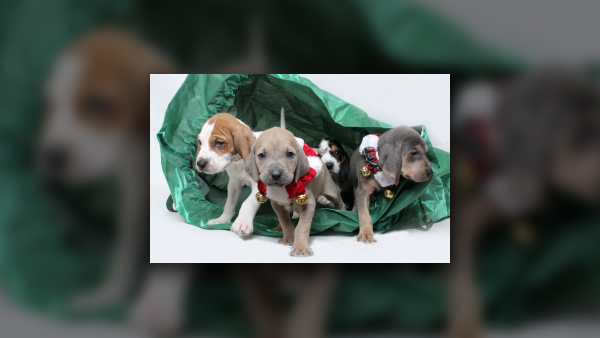 YOUNG-WILLIAMS ANIMAL CENTER_YEAR END FUNDRAISER IMAGE_PUPPIES_CHRISTMAS_1545076943339.jpg.jpg