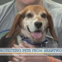 Protecting pets from heartworms