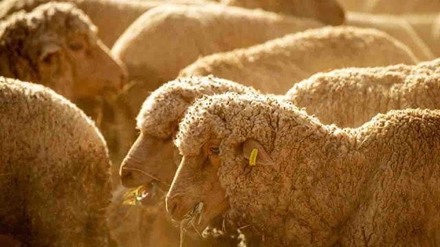 sheep_1553936718463_79782564_ver1.0_640_360_1553952931126.jpg