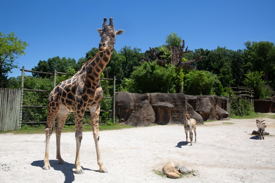 Zoo Knoxville's 16-year-old male giraffe, Jumbe.