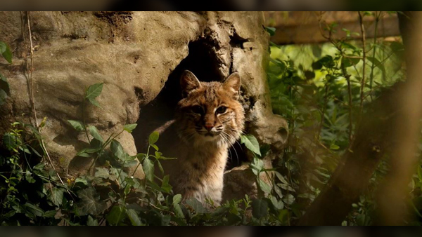 Bobcat (Chattanooga Nature Center/ WTVC)
